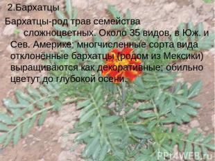 2.Бархатцы Бархатцы-род трав семейства сложноцветных. Около 35 видов, в Юж. и Се