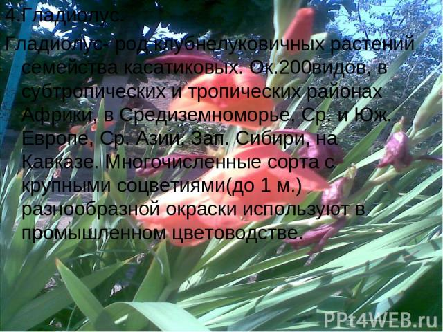 4.Гладиолус. Гладиолус- род клубнелуковичных растений семейства касатиковых. Ок.200видов, в субтропических и тропических районах Африки, в Средиземноморье, Ср. и Юж. Европе, Ср. Азии, Зап. Сибири, на Кавказе. Многочисленные сорта с крупными соцветия…