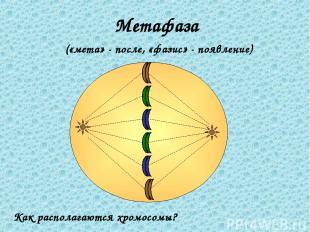 Метафаза («мета» - после, «фазис» - появление) Как располагаются хромосомы?