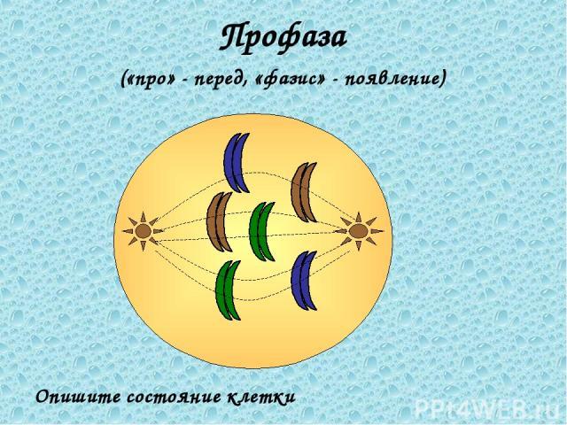 Профаза («про» - перед, «фазис» - появление) Опишите состояние клетки