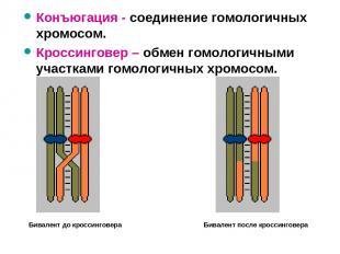 Конъюгация - соединение гомологичных хромосом. Кроссинговер – обмен гомологичным