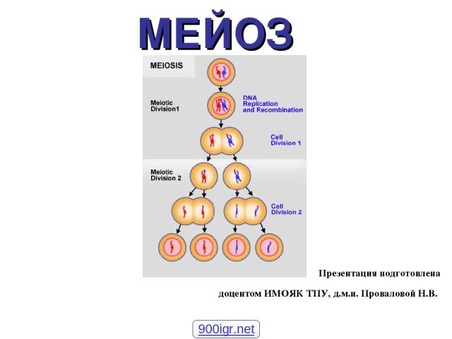 МЕЙОЗ Презентация подготовлена доцентом ИМОЯК ТПУ, д.м.н. Проваловой Н.В. 900igr.net