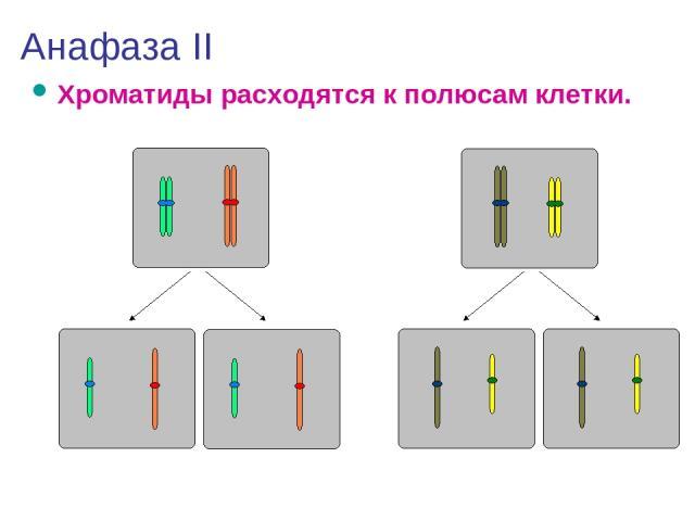Анафаза II Хроматиды расходятся к полюсам клетки.