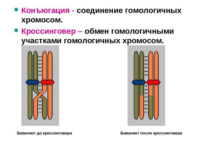 Конъюгация - соединение гомологичных хромосом. Кроссинговер – обмен гомологичными участками гомологичных хромосом. Бивалент до кроссинговера Бивалент после кроссинговера