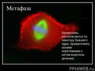 Метафаза Хромосомы располагаются по экватору бывшего ядра, прикрепляясь своими п