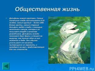 Общественная жизнь Дельфины живут группами. Самые маленькие стада насчитывают 6-