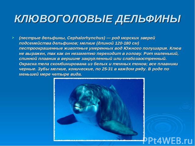 КЛЮВОГОЛОВЫЕ ДЕЛЬФИНЫ (пестрые дельфины, Серhalorhynchus) — род морских зверей подсемейства дельфинов; мелкие (длиной 120-180 см) пестроокрашенные животные умеренных вод Южного полушария. Клюв не выражен, так как он незаметно переходит в голову. Рот…