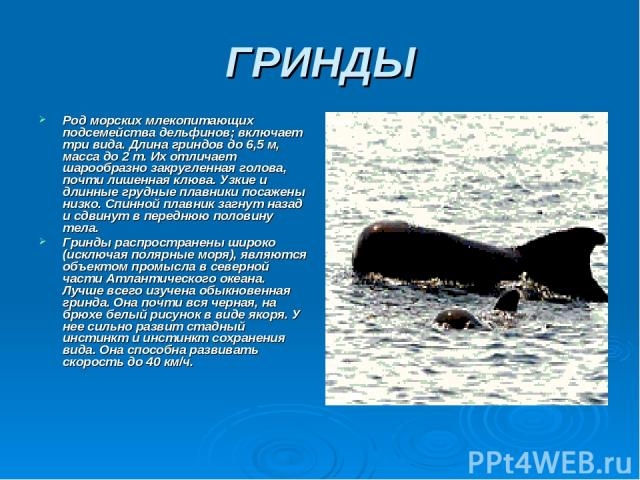 ГРИНДЫ Род морских млекопитающих подсемейства дельфинов; включает три вида. Длина гриндов до 6,5 м, масса до 2 т. Их отличает шарообразно закругленная голова, почти лишенная клюва. Узкие и длинные грудные плавники посажены низко. Спинной плавник заг…