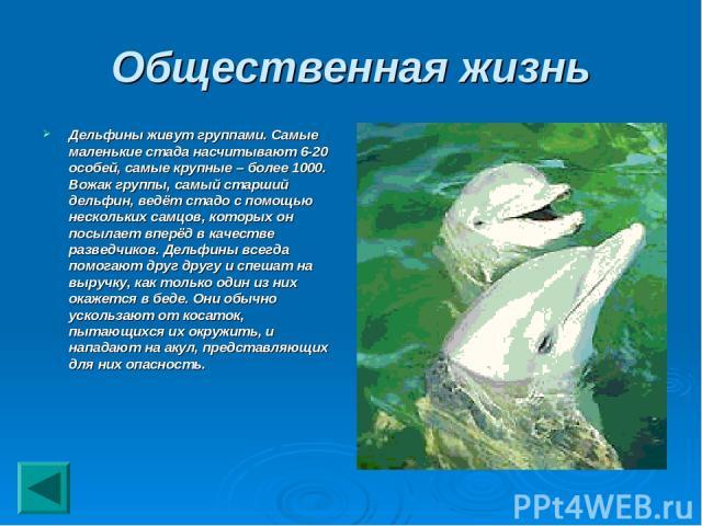 Общественная жизнь Дельфины живут группами. Самые маленькие стада насчитывают 6-20 особей, самые крупные – более 1000. Вожак группы, самый старший дельфин, ведёт стадо с помощью нескольких самцов, которых он посылает вперёд в качестве разведчиков. Д…