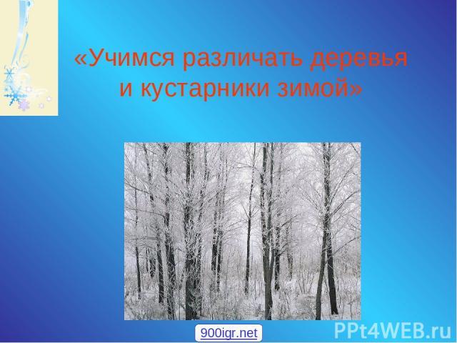 «Учимся различать деревья и кустарники зимой» 900igr.net