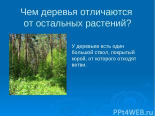 Чем деревья отличаются от остальных растений? У деревьев есть один большой ствол