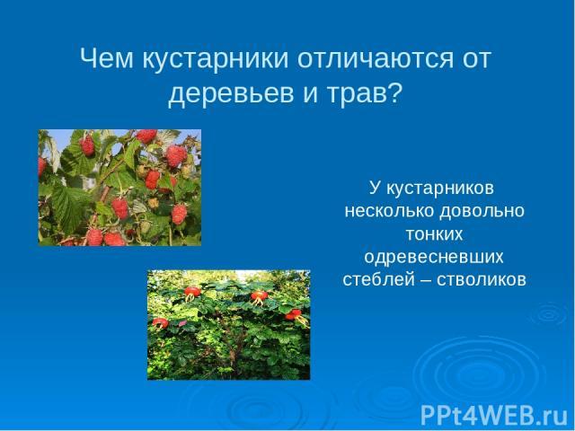 Чем кустарники отличаются от деревьев и трав? У кустарников несколько довольно тонких одревесневших стеблей – стволиков