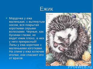 Ежик Мордочка у ежа маленькая, с вытянутым носом, вся покрытая короткими серыми