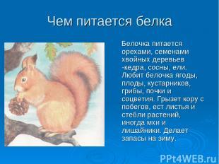 Чем питается белка Белочка питается орехами, семенами хвойных деревьев -кедра, с
