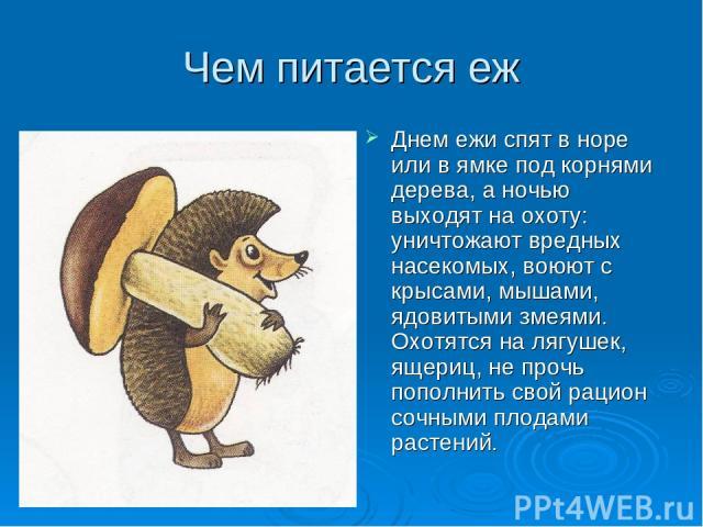 Чем питается еж Днем ежи спят в норе или в ямке под корнями дерева, а ночью выходят на охоту: уничтожают вредных насекомых, воюют с крысами, мышами, ядовитыми змеями. Охотятся на лягушек, ящериц, не прочь пополнить свой рацион сочными плодами растений.