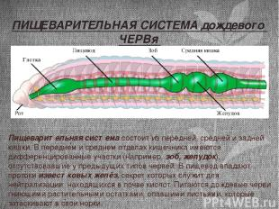 Пищеварительная система состоит из передней, средней и задней кишки. В переднем