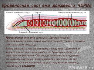 Кровеносная система дождевого ЧЕРВя Кровеносная система замкнутая. Движение кров