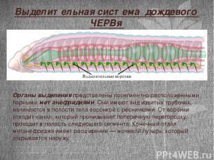 Выделительная система дождевого ЧЕРВя Органы выделения представлены посегментно