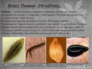 Класс Пиявки (Hirudinea). Пиявки— пресноводные, морские и изредка наземные форм