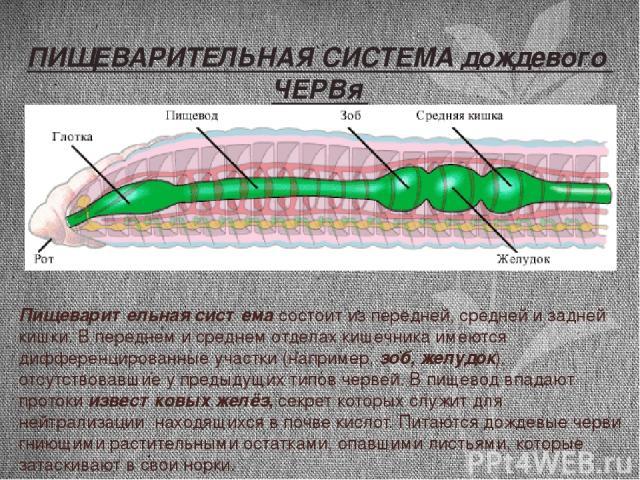 Пищеварительная система состоит из передней, средней и задней кишки. В переднем и среднем отделах кишечника имеются дифференцированные участки (например, зоб, желудок), отсутствовавшие у предыдущих типов червей. В пищевод впадают протоки известковых…