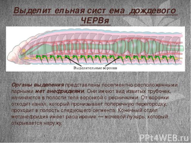 Выделительная система дождевого ЧЕРВя Органы выделения представлены посегментно расположенными парными метанефридиями. Они имеют вид извитых трубочек, начинаются в полости тела воронкой с ресничками. От воронки отходит канал, который пронизывает поп…