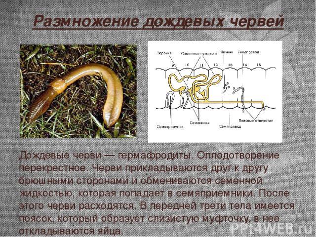 Размножение дождевых червей Дождевые черви — гермафродиты. Оплодотворение перекрестное. Черви прикладываются друг к другу брюшными сторонами и обмениваются семенной жидкостью, которая попадает в семяприемники. После этого черви расходятся. В передне…