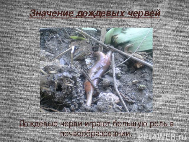 Значение дождевых червей Дождевые черви играют большую роль в почвообразовании.