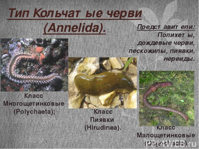 Тип Кольчатые черви (Annelida). Класс Пиявки (Hirudinea). Класс Многощетинковые (Polychaeta); Класс Малощетинковые (Oligochaeta); Представители: Полихеты, дождевые черви, пескожилы, пиявки, нереиды.