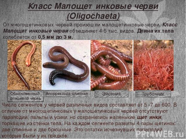 Число сегментов у червей различных видов составляет от 5 -7 до 600. В отличие от многощетинковых у малощетинковых червей отсутствуют параподии, пальпы и усики, но сохранились маленькие щетинки, торчащие из стенки тела. На каждом сегменте развиты 4 п…