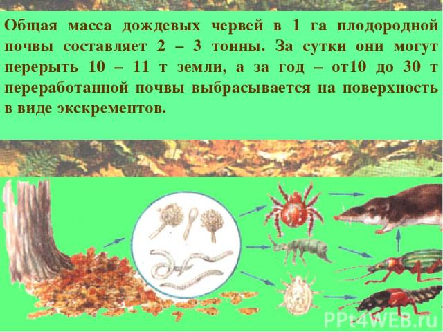 Общая масса дождевых червей в 1 га плодородной почвы составляет 2 – 3 тонны. За сутки они могут перерыть 10 – 11 т земли, а за год – от10 до 30 т переработанной почвы выбрасывается на поверхность в виде экскрементов.