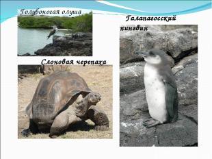 Слоновая черепаха Галапагосский пингвин Голубоногая олуша