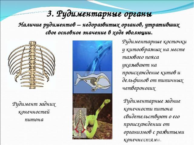 Наличие рудиментов – недоразвитых органов, утративших свое основное значение в ходе эволюции. Рудимент задних конечностей питона 3. Рудиментарные органы Рудиментарные задние конечности питона свидетельствуют о его происхождении от организмов с разви…