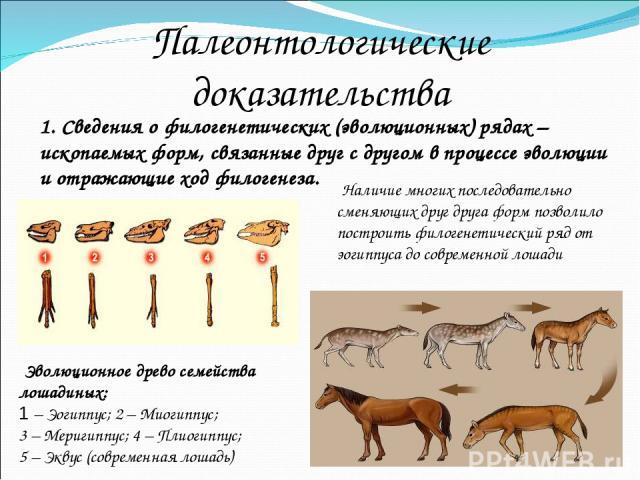 Палеонтологические доказательства 1. Сведения о филогенетических (эволюционных) рядах – ископаемых форм, связанные друг с другом в процессе эволюции и отражающие ход филогенеза. Эволюционное древо семейства лошадиных: 1–Эогиппус; 2–Миогиппус; 3…
