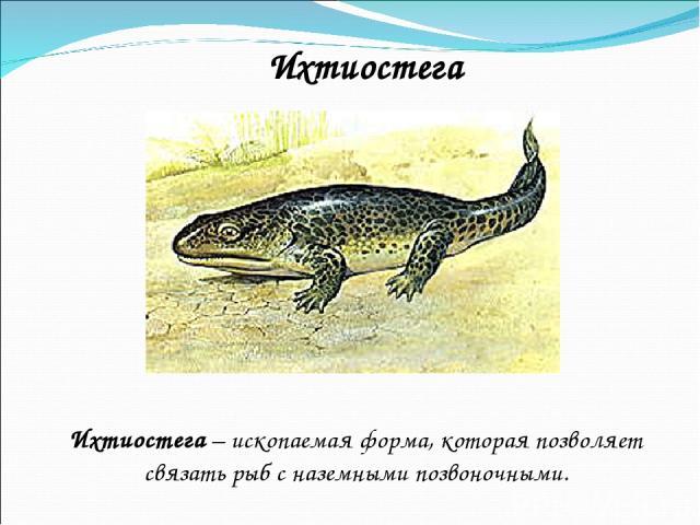 Ихтиостега Ихтиостега – ископаемая форма, которая позволяет связать рыб с наземными позвоночными.