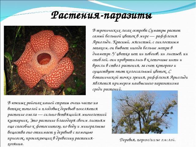 В тропических лесах острова Суматры растет самый большой цветок в мире — раффлезия Арнольди. Красный, мясистый, с гнилостным запахом, он бывает иногда больше метра в диаметре. У цветка нет ни побегов, ни листьев, ни стеблей, они превратились в клето…