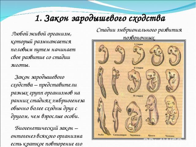 Любой живой организм, который размножается половым путем начинает свое развитие со стадии зиготы. Закон зародышевого сходства – представители разных групп организмов на ранних стадиях эмбриогенеза обычно более сходны друг с другом, чем взрослые особ…