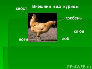 Внешний вид курицы клюв гребень хвост зоб ноги