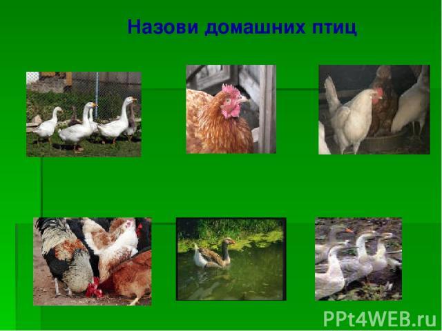Назови домашних птиц