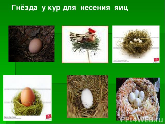 Гнёзда у кур для несения яиц