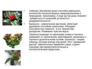 Гибискус (Китайская роза) способна уменьшить количество болезнетворных микроорга
