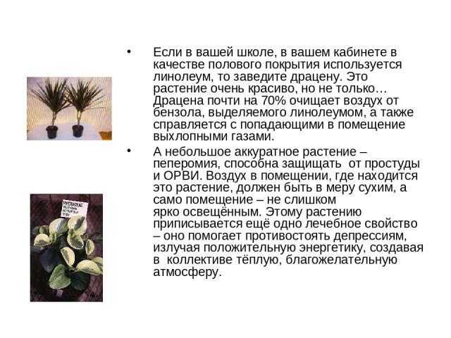 Если в вашей школе, в вашем кабинете в качестве полового покрытия используется линолеум, то заведитедрацену. Это растение очень красиво, но не только… Драцена почти на 70% очищает воздух от бензола, выделяемого линолеумом, а также справляется с поп…