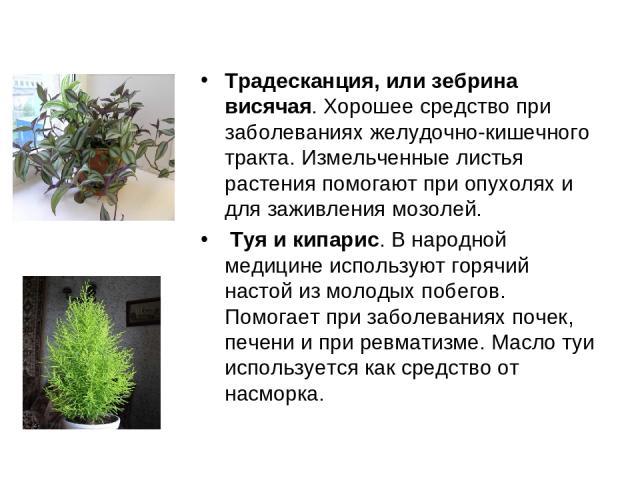 Традесканция, или зебрина висячая. Хорошее средство при заболеваниях желудочно-кишечного тракта. Измельченные листья растения помогают при опухолях и для заживления мозолей. Туя и кипарис. В народной медицине используют горячий настой из молодых по…