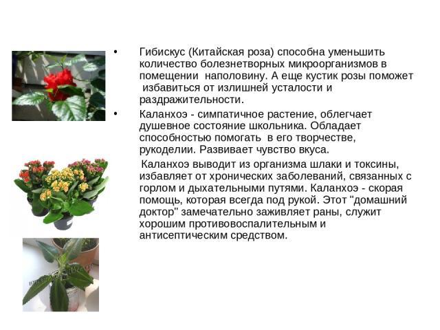 Гибискус (Китайская роза) способна уменьшить количество болезнетворных микроорганизмов в помещении наполовину. А еще кустик розы поможет избавиться от излишней усталости и раздражительности. Каланхоэ - симпатичное растение, облегчает душевное сост…
