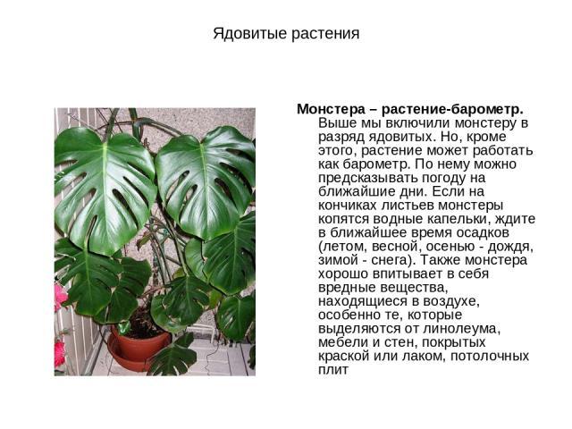 Ядовитые растения Монстера – растение-барометр. Выше мы включили монстеру в разряд ядовитых. Но, кроме этого, растение может работать как барометр. По нему можно предсказывать погоду на ближайшие дни. Если на кончиках листьев монстеры копятся водные…