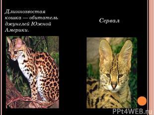 Длиннохвостая кошка — обитатель джунглей Южной Америки. Сервал