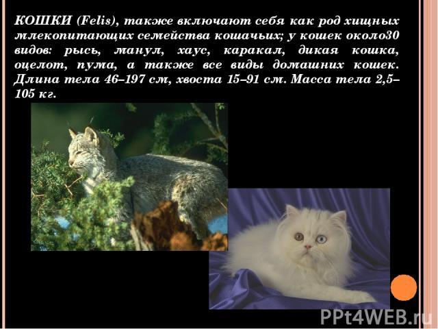 КОШКИ (Felis), также включают себя как род хищных млекопитающих семейства кошачьих; у кошек около30 видов: рысь, манул, хаус, каракал, дикая кошка, оцелот, пума, а также все виды домашних кошек. Длина тела 46–197 см, хвоста 15–91 см. Масса тела 2,5–…