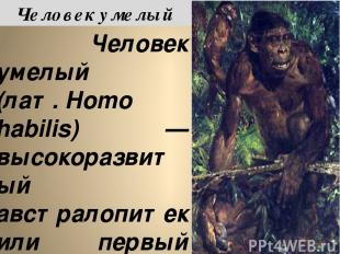 Челове к уме лый (лат.Homo habilis) — высокоразвитый австралопитек или первый п