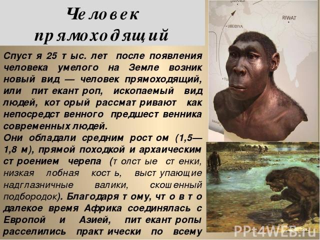Спустя 25 тыс. лет после появления человека умелого на Земле возник новый вид — человек прямоходящий, или питекантроп, ископаемый вид людей, который рассматривают как непосредственного предшественника современных людей. Они обладали средним ростом (…
