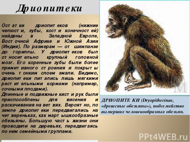 Дриопитеки ДРИОПИТЕ КИ (Dryopithecinae, «древесные обезьяны»), подсемейство вымерших человекообразных обезьян. Остаткидриопитеков (нижние челюсти, зубы, кости конечностей)найдены вЗападнойЕвропе,ВосточнойАфрикеи Южной Азии (Индия). По размерам — от …