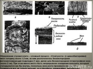 Образование строматолита – сложный процесс. «Слой роста» (с цианобактериями) име